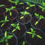 De oleander in een potje voor u als consument